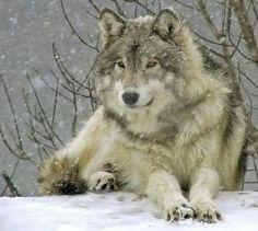 Картинки по запросу Волк