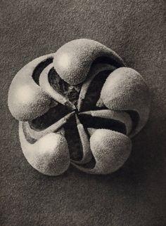 Karl_Blossfeldt_Blumernbachia_hieronymi_Loasaceae_1932_101_129.jpg (878×1200)
