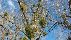 Mistletoe herb #herbs #ziola #healthy #zdrowie http://herballeaf.eu/encyclopedia-of-herbs/mistletoe-herb/
