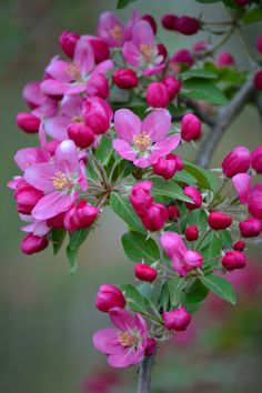 Spring crabapple blossoms