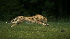 Ecomundo: Los animales más rápidos del planeta