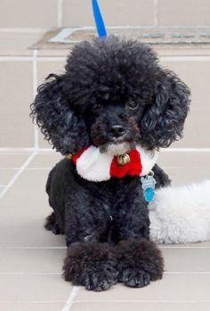 Check Out Miniature Poodle Training Mini Poodles, French Poodles, Toy Poodles, Toy Poodle Puppies, Teacup Puppies, Cute Puppies, Cute Dogs, Puppy List, Animals And Pets