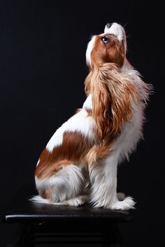 Discover Cavalier King Charles Spaniel Size Cavalier King Charles Spaniel Cute Source by hunterbunter The post Cavalier King Charles Spaniel Cute appeared first on Coulson Puppies. Rei Charles, King Charles Dog, Beautiful Dogs, Animals Beautiful, Cute Animals, Funny Animals, Funniest Animals, Animal Fun, Animals Dog