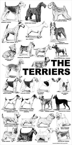 Aaronco Poster - The Terriers – Barkleigh Store Sealyham Terrier, Perro Fox Terrier, Terrier Dog Breeds, Welsh Terrier, Wheaten Terrier, Wire Fox Terriers, Wire Fox Terrier Puppies, Jack Terrier, Scottish Terrier Puppy