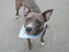TO BE DESTROYED 5/2/14Brooklyn Center -PMy name is MYSTAMIYAGI. My Animal ID # is A0997605.I am a male br brindle and white pit bull mix. The shelter thinks I am about 3 YEARS old.I came in the shelter as a OWNER SUR on 04/23/2014 from NY 10458, owner surrender reason stated was OWN EVICT. MOST RECENT MEDICAL INFORMATION AND WEIGHT05/01/2014 Exam Type VACCINATE - Medical Rating is 3 C - MAJOR CONDITIONS , Behavior Rating is NONE, Weight 37.5 LBS.No Final Exam04/23/2014 PET PROFILE MEMODOG…