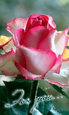 Роза для тебя...
