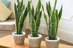 La sansevieria --también conocida como espadas de San Jorge o lenguas de tigre-- es una bonita planta, la cual desconocíamos totalmente hasta que...