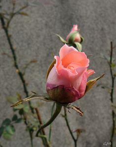 Minha roseira