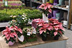 pastellfarbene Zimmerpflanzen