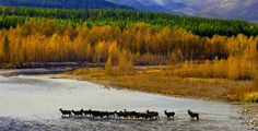 Herd of elk crossing the Bitterroot River, close to my home of Victor.  For @Lisa Elifritz hubby