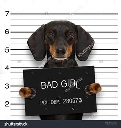 dachshund sausage dog holding a police department banner , as a mugshot photo, at police office - Tap the pin for the most adorable pawtastic fur baby apparel! You'll love the dog clothes and cat clothes! Dachshund Breed, Dachshund Funny, Dachshund Love, Daschund, Dapple Dachshund, Funny Animal Pictures, Dog Pictures, Weenie Dogs, Doggies