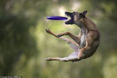 Claudio Piccoli, from Italy, has travelled to more than 13 countries to capture dogs playing a game of catch. He said he got closer to dog sports after his third dog and finds the work 'very stimulating'. Pet Dogs, Dogs And Puppies, Jumping Dog, Animal Action, Dog Poses, Belgian Malinois, Wild Dogs, Crazy Dog, Dog Photography