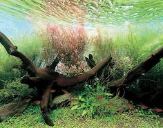 Aquatic Eden: Dutch Vs. Nature Style Aquariums - Aquascaping Aquarium Blog