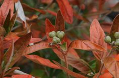 Alabama Croton (Croton alabamensis) is an underused shrub in the garden with attractive foliage