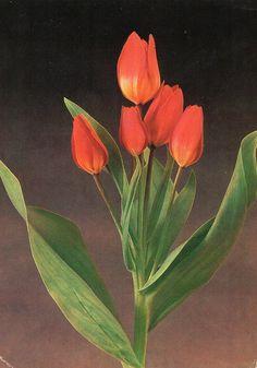 """Tulip «T. praestans """"Fusilier""""»"""