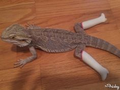 Just a lizard wearing Barbie boots, nothing to see here.