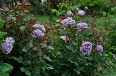 Poseidon - 'Novalis ' Rose Photo