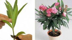 Oleander je úchvatná rostlina, která sice pochází z přímořských oblastí, ale úžasně se jí daří i v našich končinách. Rostlina není náročná na péči. Stačí pouze dostatečně zalévat, slunné místo a oleandr je nad míru spokojený. Pokud doma tuto krásnou rostlinku máte i Vy, ukážeme Vám, jak si jednoduše rozmnožit. …