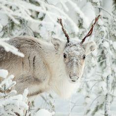 Reindeer (Ksushik S) Christmas Cats, Winter Christmas, Christmas Ideas, Merry Christmas, Whitney Houston, Baby Deer, Winter Scenes, Beautiful Creatures, Animal Kingdom
