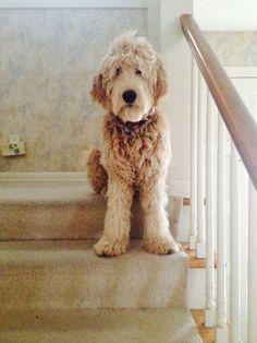 Love my goldendoodle, Stella :)