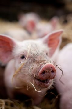 just another reason why I don't eat meat...who couldn't love a face like that?