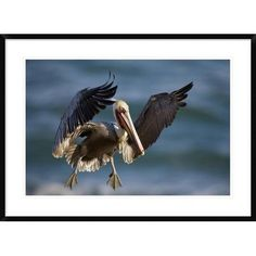"Global Gallery 'Brown Pelican Flying' Framed Photographic Print Size: 26"" H x 36"" W x 1.5"" D"