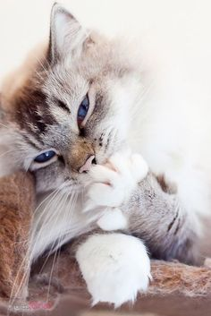 Cute Cats And Kittens, Cool Cats, Kittens Cutest, Kittens Meowing, Pretty Cats, Beautiful Cats, Animals Beautiful, Pretty Kitty, Animals And Pets