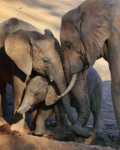 "Are Family by Ann Van Breemen ""We Are Family"" [An African elephant family at the *San Diego Wildlife Park, California*]~[Photographer ~Ann Van Breeman~ April 30 Photo Elephant, Elephant Family, Elephant Love, Elephant Art, African Elephant, African Animals, Elephants Photos, Save The Elephants, Baby Elephants"