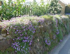 trockenmauer-bepflanzen-hängend-blaukissen