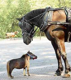 mini horses are so unnatural and unproportional.