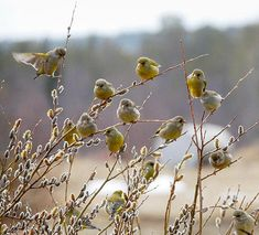 Finches and pussy willows