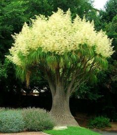 Ponytail Palm Tree nature tropical tree palm exotic Will grow in MS. Trees And Shrubs, Flowering Trees, Trees To Plant, Bonsai Trees, Garden Trees, Garden Planters, Ponytail Palm Tree, Ponytail Plant, Beautiful Gardens