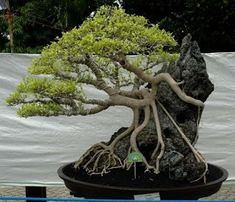 Bonsai trees are an exceptional option for an unusual office plant. If you are a newcomer to Bonsai, a club is a superb chance to learn some fantastic abilities and meet new pals. Garden, Plants, Zen Garden, Japanese Garden, Ficus, Small Trees, Miniature Trees, Houseplants, Bonsai Tree