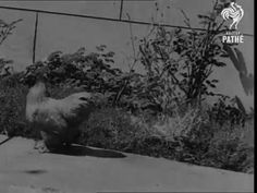 The Chicken that Only Walks Backwards! http://youtu.be/HtEGF6NVzUg