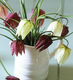 Fritillaria meleagris 'Plum & White Mixed'