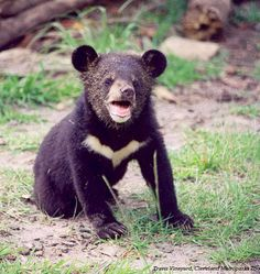 Asian black bear (Ursus thibetanus) cub from the Cleveland Metroparks Zoo. Anyone who can kill or use these bears must have a dark black heart.