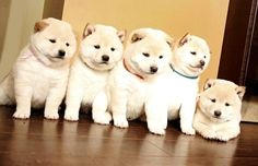 Dressing Doggy Up For Halloween Akita Puppies, Akita Dog, Puppies And Kitties, Baby Puppies, Cute Puppies, Shiba Inu, Chien Akita Inu, Cute Baby Animals, Funny Animals