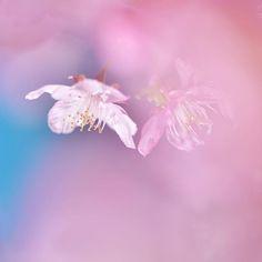 【lcookieove】さんのInstagramをピンしています。 《2/14  Happy Valentine's Day!! 💘 愛の日に さくららぶ そう、日本晴れのあの日のさくらだよ。 ・ 河津桜のことを知ったのはかなり前だけど、2年前にはじめて本場の河津で見ました。まだ冬だと思っていたのに、そこには信じられないような春めいた景色が広がっていたの、よく知る桜よりしっかりとしたピンクの花びらが元気に風に揺れていました。この祝福に満ちた光景を家族や友人にも見せてあげたい、と思って何枚も写真を撮りました。お花を撮る喜びを自覚したのはそこがはじまり…河津桜は初心を思い出させてくれるお花、そして、永遠のマイアイドルです。チョコの準備はないけど……気持ちはいつもいっぱい…with love❥︎・• 💘 ・ location・Kanagawa 2017/02/07撮影 ・ #お花えほん #桜 #河津桜 #cherryblossom #エアリーフォト #ふんわり写真部 #nikond750 #nikonforever #wp_flower #_lovely_weekend…