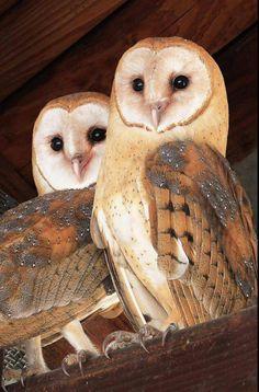 Barn owls- photographer: Sheila Cambers -Facebook Birders