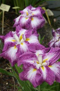 Agripinella Japanese Iris for sale buy Iris ensata 'Agripinella' Iris Flowers, Colorful Flowers, Purple Flowers, Planting Flowers, Beautiful Flowers, Iris For Sale, Rabbit Resistant Plants, Japanese Iris, Bog Plants
