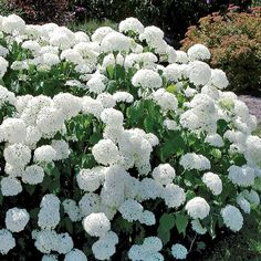 Annabelle Hydrangea (Hydrangea arborescens Annabelle) at Wayside Gardens (Color can be adjusted with Color change fertilizer. Plants, White Flowers, Planting Flowers, Annabelle Hydrangea, Hydrangea Arborescens, Flowering Shrubs, Hydrangea Care, Flower Garden, White Gardens