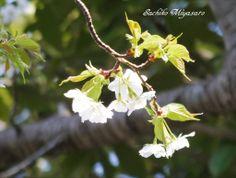 桜 さくら サクラ cherryblossom