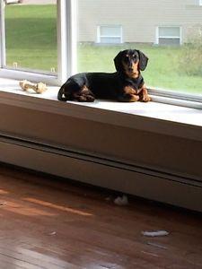 8 month old purebred dachshund (wiener dog )