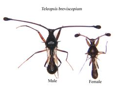 Male stalk-eyed flies carry a distinct handicap.  These flies have exaggerated ornamentation in the form of extra-long eyestalks .  Females have much shorter eye-stalks . While males also have larger wings, this is most likely to compensate for the increased energetic cost of flying with the larger ornaments.