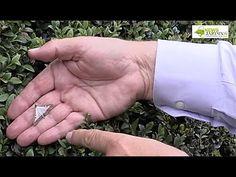 Pyrale du buis : Comment se débarrasser des chenilles du buis ? Explications, avancées des recherches scientifiques et traitements naturels de la pyrale du buis. Cette chenille qui ravage nos buis.