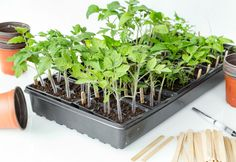 To keep your plants strong, it's imperative that you transplant tomato seedlings into larger pots while they are still growing indoors. Tomato Seedlings, Tomato Seeds, Homemade Chalk Paint, Plant Labels, Plant Markers, Large Pots, Growing Tomatoes, Garden Seeds, Potting Soil