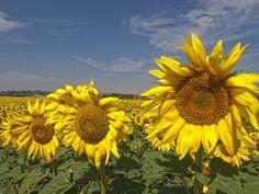 Girasoles Gorgeous -=- Sensational Sunflowers [Source: photo by Marin2009 via Flickr]