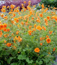 Regarded as an improved version of Geum 'Fireball', Geum 'Fire Storm' is a clump-forming, herbaceous perennial with twice the flower power of 'Fireball' but half the plant size.