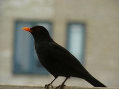 Merel / Blackbird