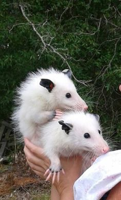 Opossums are usually solitary animals, but these two leucistic (white) siblings, Aspen and Keebler, can't get enough of each other.